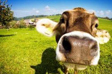 Top 4 lucruri pe care trebuie sa le stii despre hranirea vitelor!